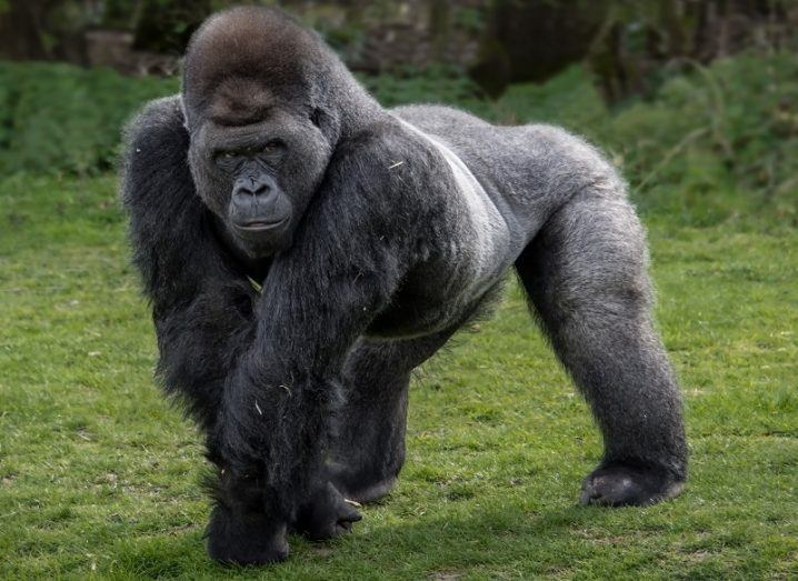 A silverback gorilla walking on all fours while looking menacing.