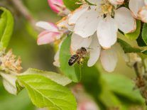 ApisProtect and Inmarsat develop warning system to save the bees