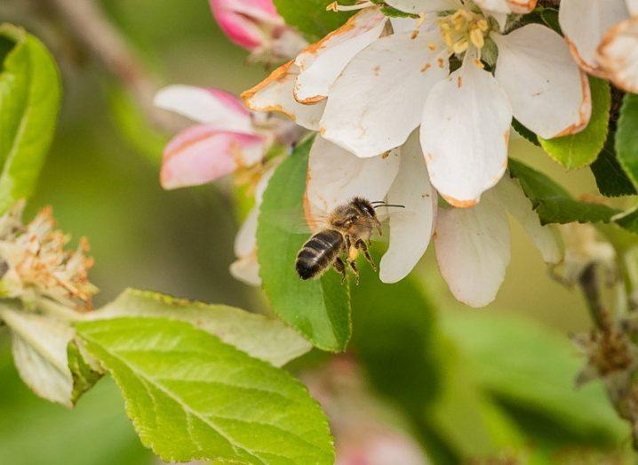 A honey bee on an apple blossom.