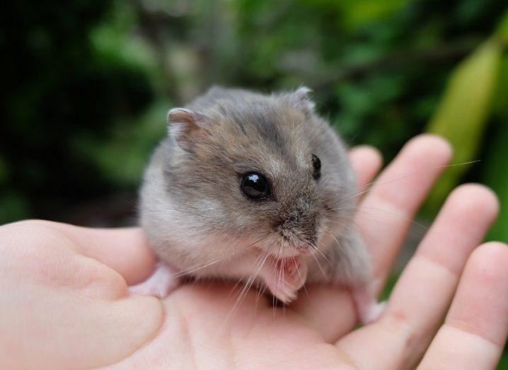 Close-up of a tiny hamster on a person's hand.