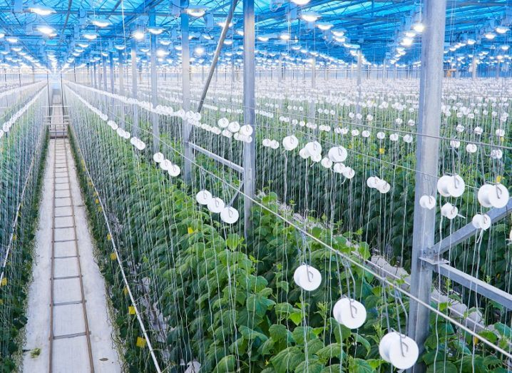 High-angle view of a large greenhouse with a blue roof and monitoring devices over many rows of plants.