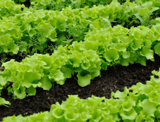 Vegetables could be transmitting antibiotic-resistant bacteria to humans