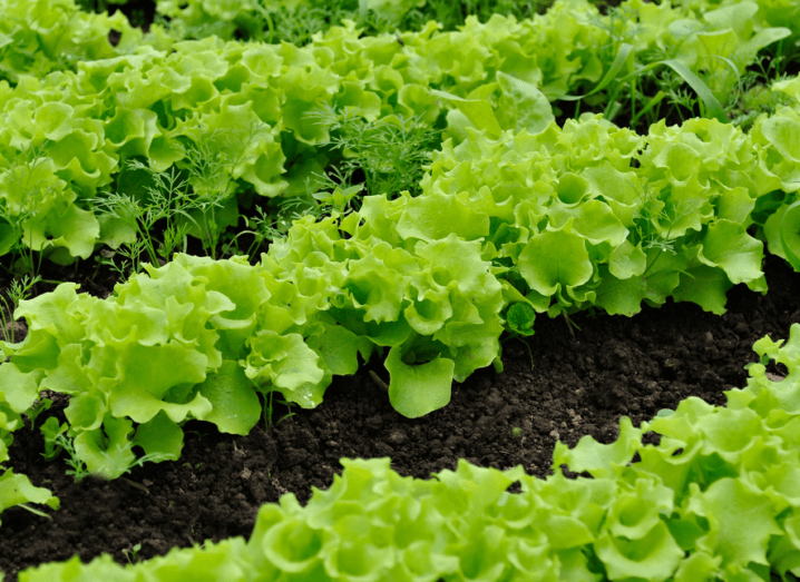 Lettuce growing in the ground.