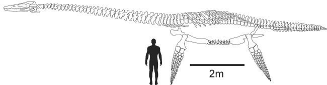 Diagram showing scale of the elasmosaurid creature when compared with a much smaller human.