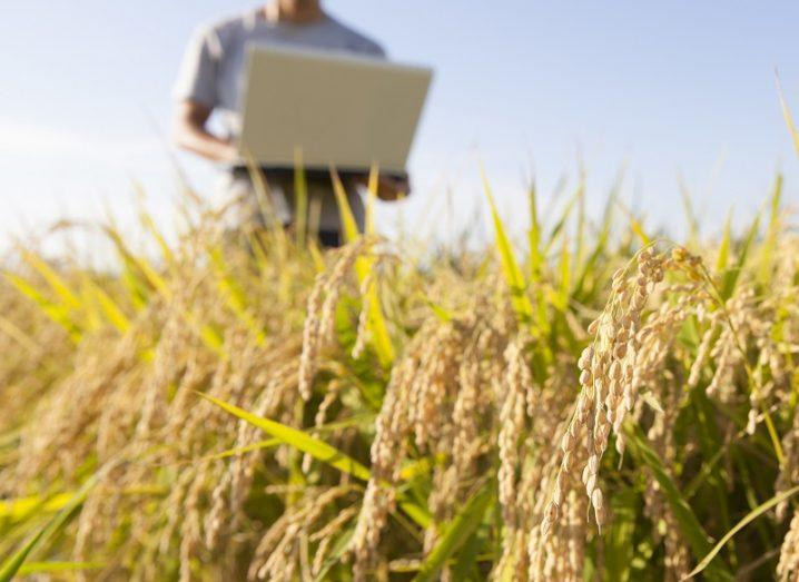 A cornfield with a person holding a laptop in the background and a sunny sky.