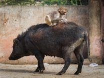 CRISPR start-up puts pig organs into monkeys to test future transplants