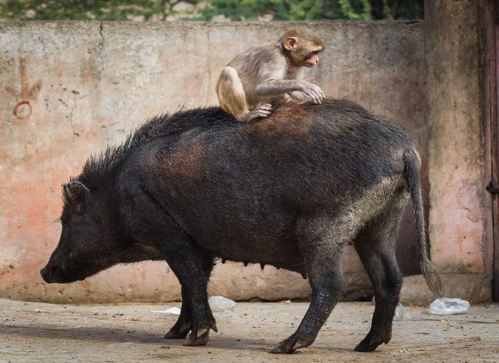A small macaque monkey sitting on a a black pig's back against a backdrop of a red and grey wall.