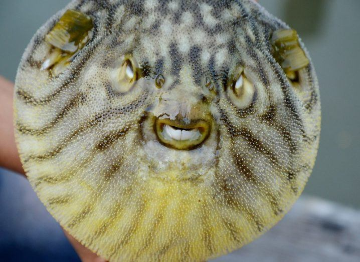 An inflated yellow, black and grey striped pufferfish showing off its teeth menacingly.