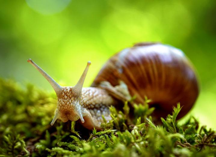 A snail facing the camera on a moss covered log against a green background.
