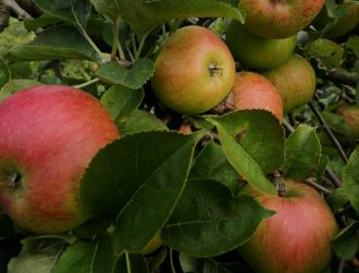 Those who eat organic apples, core and all, get 10 times the bacteria