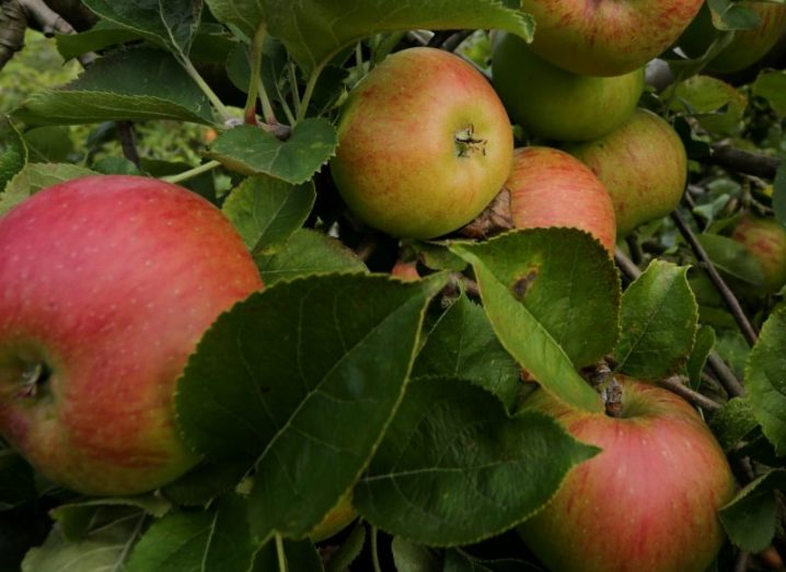 Close-up of red apples on a tree, surrounded by leaves.