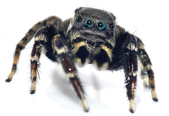 Close-up of the newly discovered spider with black and white legs.