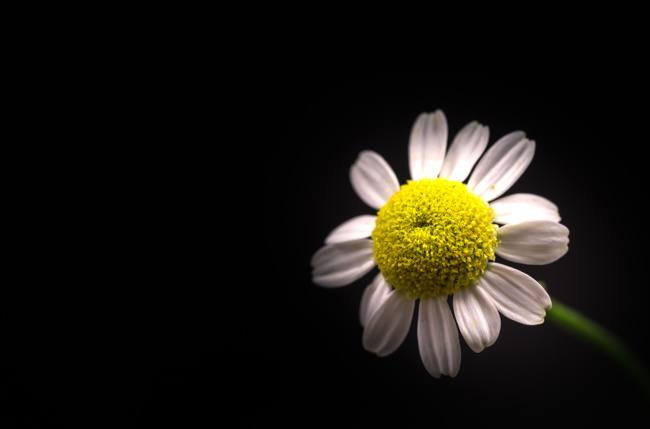 Macro close-up of a feverfew flower with a yellow middle and white petals on a black background.