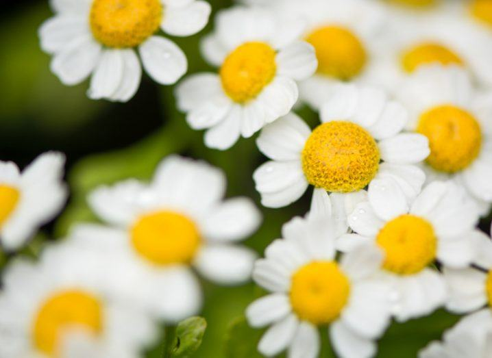 A grouping of white and yellow feverfew flowers.