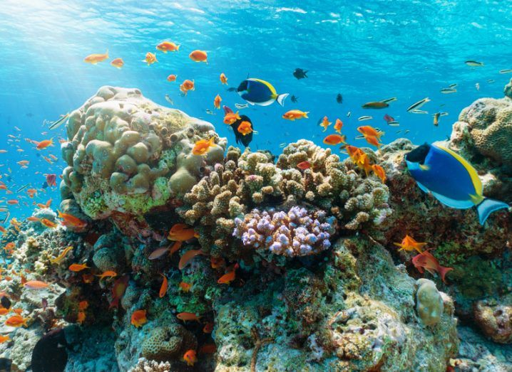 View of coral, colourful fish and other sea animals under the surface of glittering turquoise Indian Ocean waters.