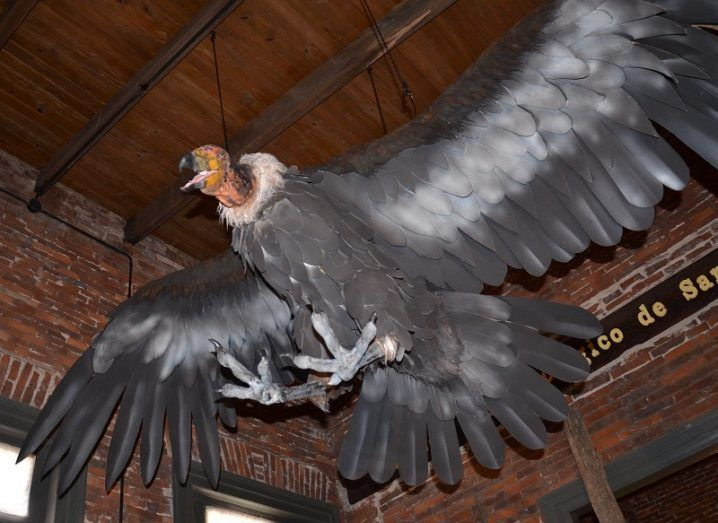 Replica model of the giant condor in a flight pose, hanging from a wooden ceiling.