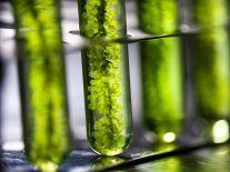 'Vampire' algae killer threatens to make important biofuels useless