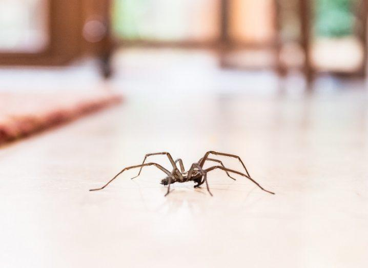 Close-up of a common household spider walking on a white tiled floor.
