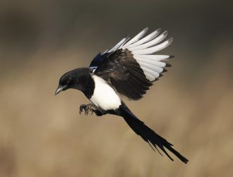 Magpies are struggling to adapt fast enough to climate emergency