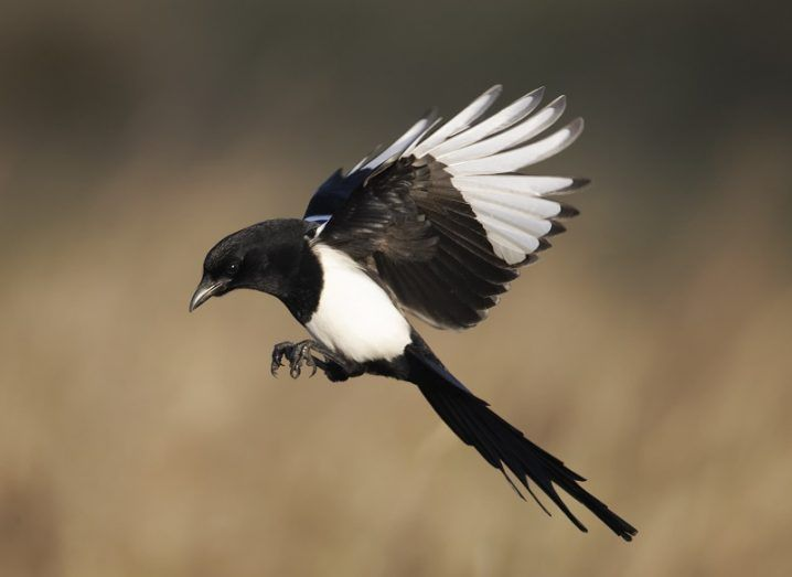 A magpie mid-flight against a blurred, brown grassy background.