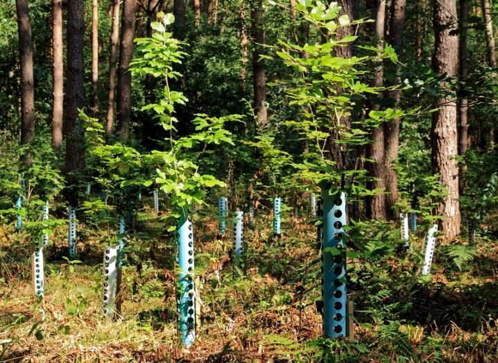 A small number of newly planted trees against a backdrop of a dense forest.