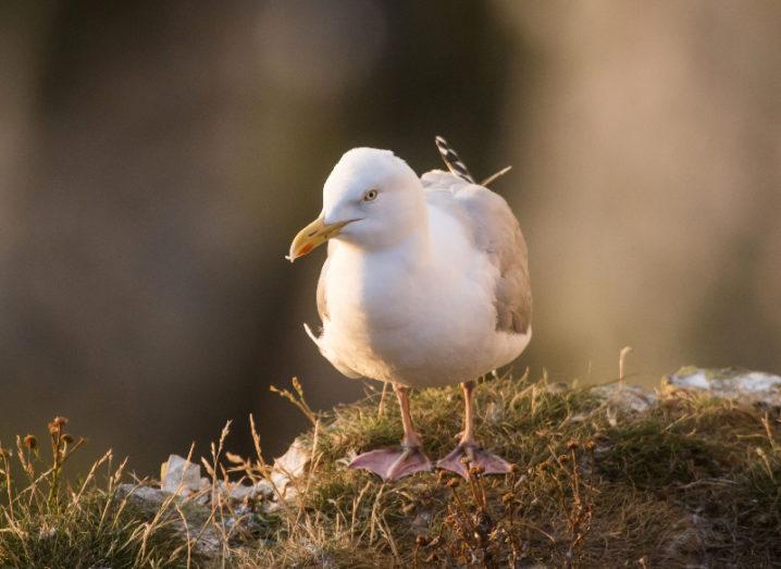A herring gull stands placidly on a grassy tuft.