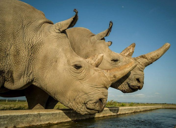 The last two remaining northern white rhinos drinking from a reservoir.