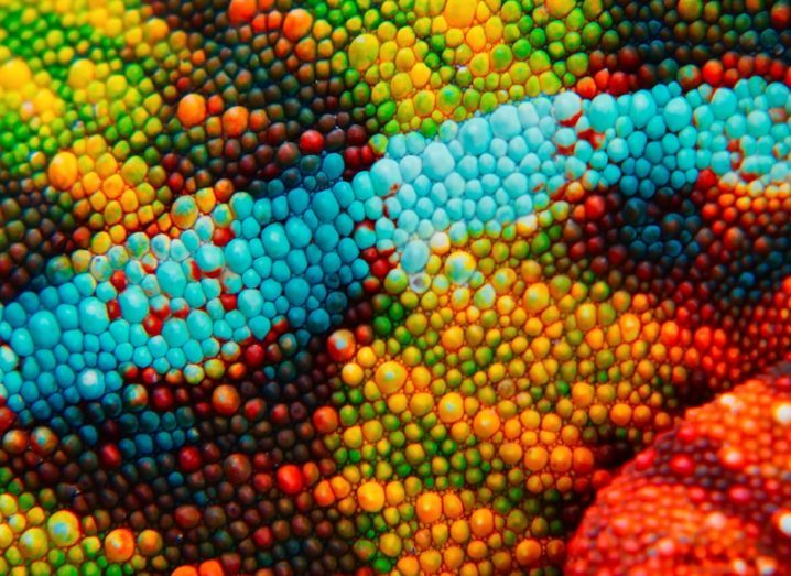 Close-up of vibrant chameleon skin, coloured blue, green, yellow and red.