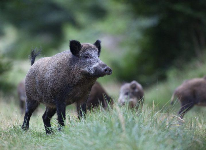 Group of black feral hogs in a field against a blurred forest background.