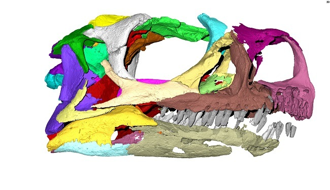 A multicoloured micro-CT scan of Ngwevu intloko skull.