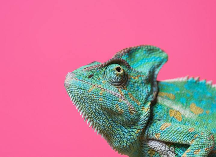 Close-up view of cute colourful exotic chameleon isolated on a pink background.
