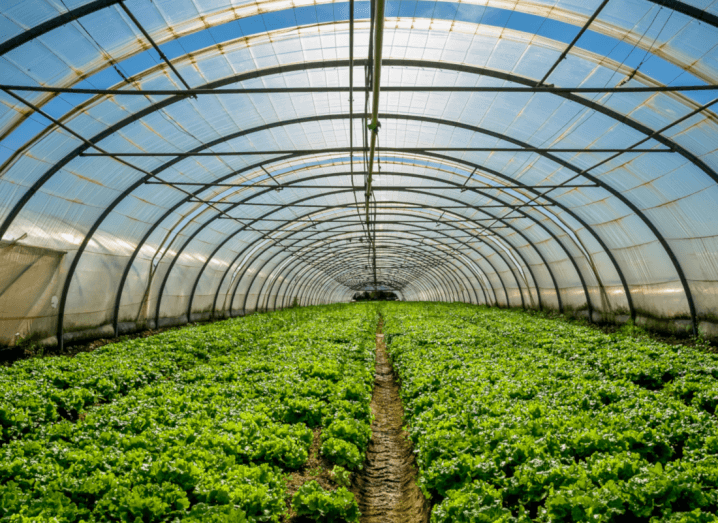 A tunnel of vegetables growing under a blue sky.