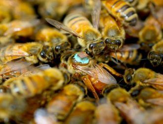 Male honeybees inject queens with toxins to blind them during sex