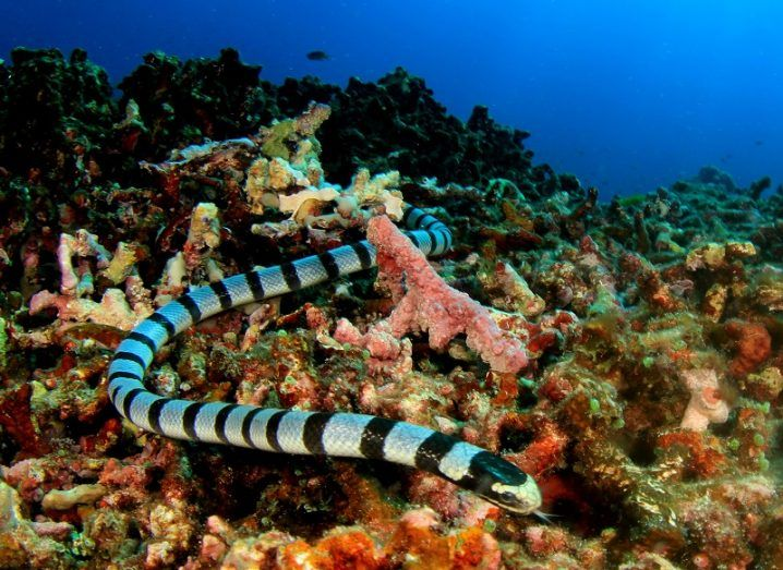 Image of a banded sea snake in a colour underwater scene, with coral and other marine life.