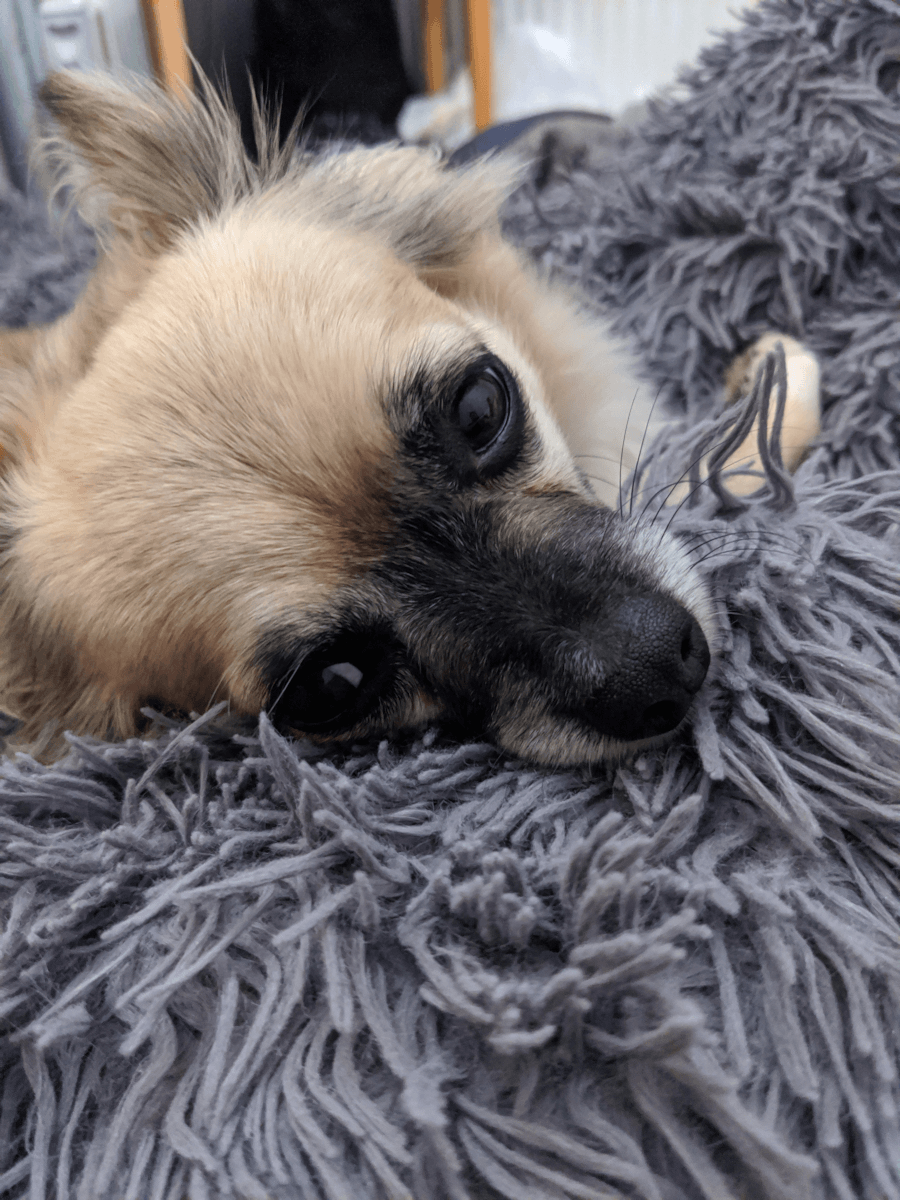 A beige chihuahua with a black face lying on a grey, fluffy blanket.