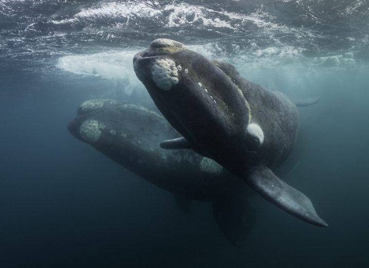 Underwater view of a large whale swimming next to a smaller calf in the foreground.