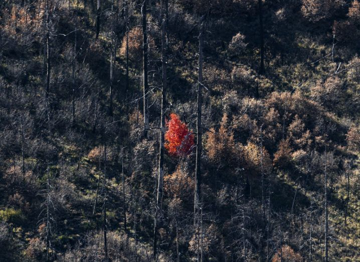 A lone autumnal tree with rust-coloured leaves, on a mountainside surrounded by burned trees from a forest fire.