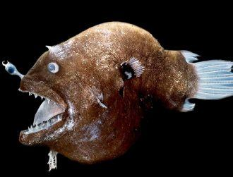 Origin of strange, glowing bacteria in anglerfish 'lamp' discovered