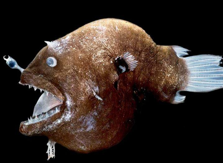Brown anglerfish with large jaw open against a black background.