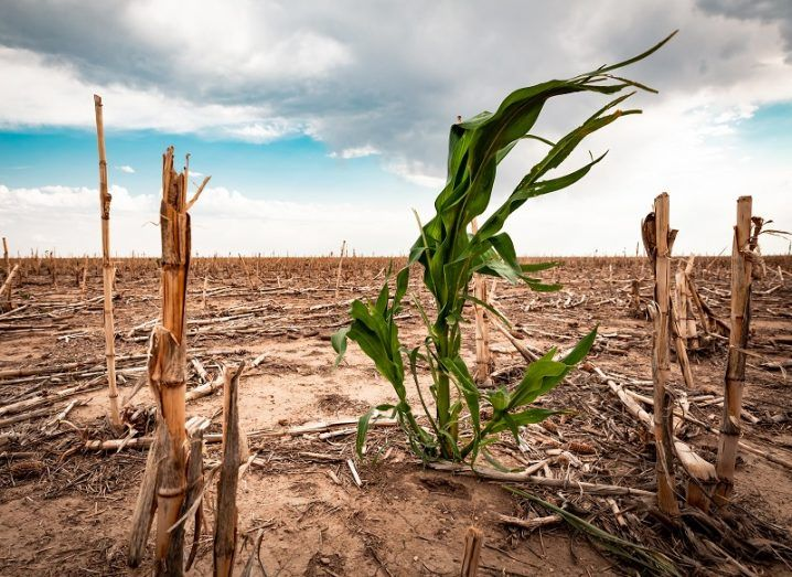 Single green crop surrounded by dead crops as a result of drought.