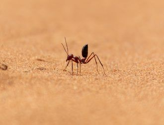 Scurrying desert ant that feeds off corpses breaks world speed record