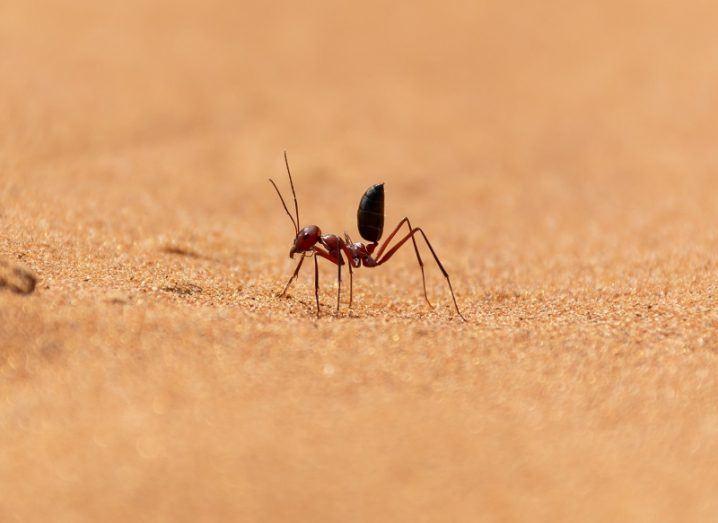 Saharan ant running across a sand dune.
