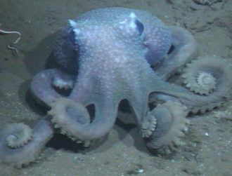 Deep discovery reveals why some octopuses are wartier than others