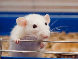 'Mini-brains' put into animals could one day spark consciousness, group warns