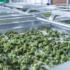 German medical cannabis start-up Demecan raises €7m