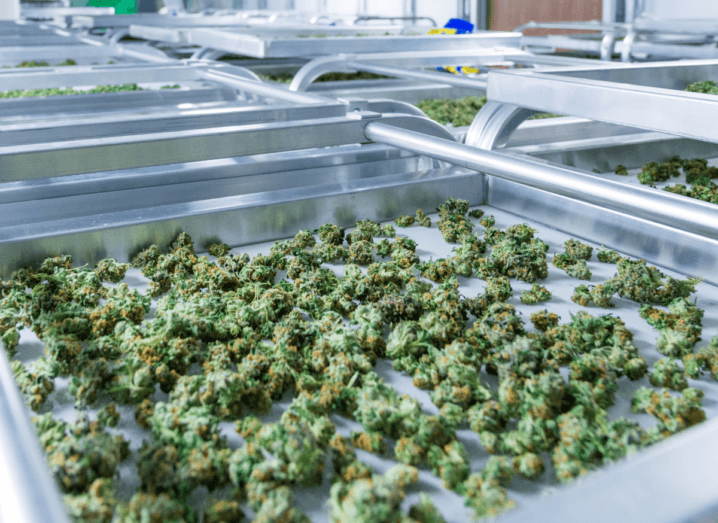 A large silver tray in a laboratory or greenhouse, which is covered in small, green cannabis buds.