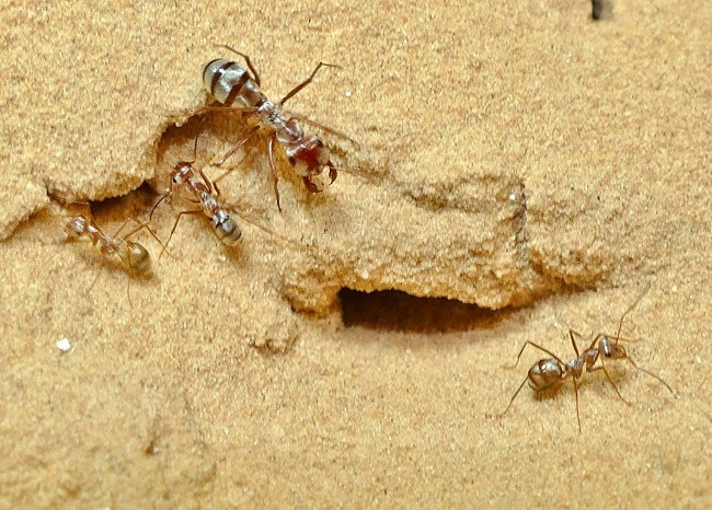 Saharan silver ant workers gathered around a nest entrance on sand.
