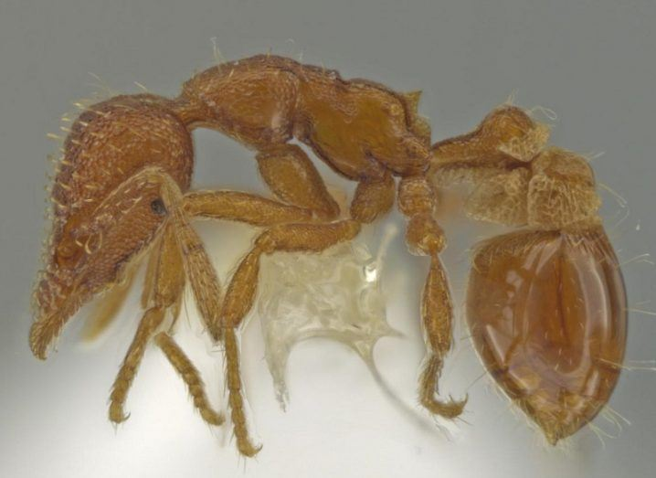 The newly discovered ant, coloured yellow, as seen through a microscope.