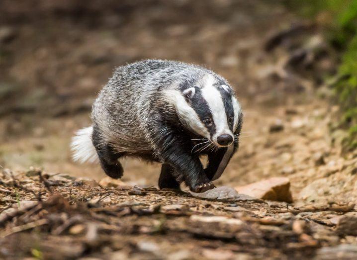 Badger running across a dirt path.