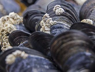 Rare contagious cancer in mussels spreading across the Atlantic Ocean